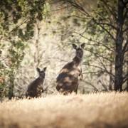 Kangaroo Island Timbers опубликует заявление о своем воздействии на окружающую среду